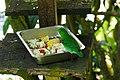 小綠闊嘴鳥 Green Broadbill ( Calyptomena viridis ) - panoramio.jpg