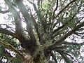 山五十川の玉杉 - panoramio.jpg