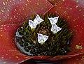 彩葉鳳梨屬 Neoregelia Charm -香港青松觀蘭花展 Tuen Mun, Hong Kong- (33344186121).jpg