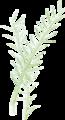 油菜rapeseed.png
