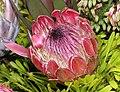 海神花屬 Protea repens -香港花展 Hong Kong Flower Show- (9207603384).jpg