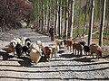 牧羊 - Shepherd and His Sheep - 2015.04 - panoramio.jpg