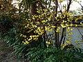 石光寺の蝋梅 葛城市にて Wintersweet blossoms in Sekkōji 2012.1.17 - panoramio.jpg