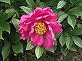 芍藥-茄紫煥彩 Paeonia lactiflora 'Shining Purple' -北京植物園 Beijing Botanical Garden, China- (12403894973).jpg