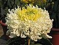 菊花-碧玉袍 Chrysanthemum morifolium 'Greenish Jade Robe' -中山小欖菊花會 Xiaolan Chrysanthemum Show, China- (12026616363).jpg