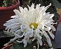 菊花-西施倩妝 Chrysanthemum morifolium 'Beauty Xi-Shi Smartly Dressed' -中山小欖菊花會 Xiaolan Chrysanthemum Show, China- (12085337244).jpg