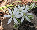 虎眼萬年青屬 Ornithogalum umbellatum ssp divergens -比利時國家植物園 Belgium National Botanic Garden- (9227007847).jpg