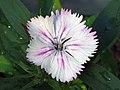 鬚苞石竹(五彩石竹) Dianthus barbatus -香港嘉道理農場 Kadoorie Farm, Hong Kong- (9447964507).jpg