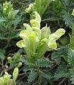 黃芩屬 Scutellaria polyodon -巴黎植物園 Jardin des Plantes, Paris- (9213292389).jpg