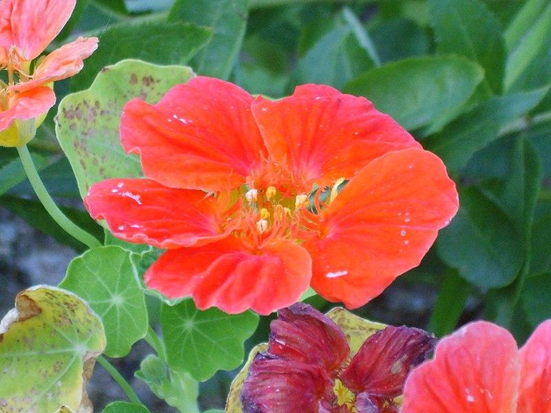 File:한련 꽃 가까이 2.JPG