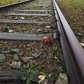 -082 - Sad Rose (25364498453).jpg