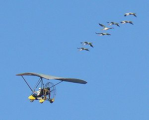 Operation Migration - Young Whooping Cranes completing their first migration, from Wisconsin to Florida, following an ultralight aircraft from Operation Migration