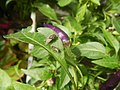 0998Ornamental plants in the Philippines 12.jpg