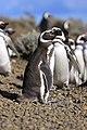 136 - Cap Virgenes - Manchot de Magellan - Janvier 2010.JPG