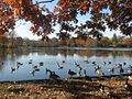 1462653 Canadian-Geese-and-Belmont-Lake 620.jpg