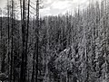 1937. Small group of green trees surrounded by dead timber. Wilson River area. Tillamook Burn, Oregon. (34829681212).jpg