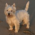 1A Westie in the Golden California Sun.jpg