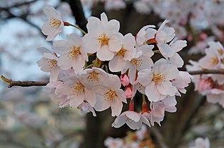 2007 Sakura of Fukushima-e 007.jpg