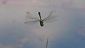 2013.06.07.-01-Kaefertaler Wald-Mannheim-Gemeine Smaragdlibelle-Maennchen im Flug.jpg