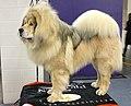 2013 Westminster Kennel Club Dog Show- Tibetan Mastiff GCH Sierras'Sasha-Yakone Nanuk (8469240739) (cropped).jpg