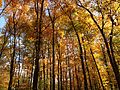 2014-10-30 13 17 52 Trees during autumn in the woodlands along the West Branch Shabakunk Creek in Ewing, New Jersey.JPG