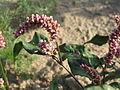 20140701Persicaria lapathifolia5.jpg