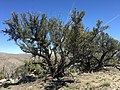 2015-04-27 12 53 45 An older Mountain Mahogany on the north wall of Maverick Canyon, Nevada.jpg