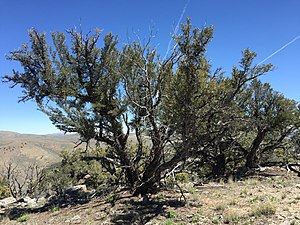 Great Basin montane forests - Mountain mahogany, Maverick Canyon