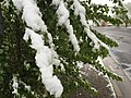 2015-05-07 07 35 21 New green leaves covered by a late spring wet snowfall on a poplar on Water Street in Elko, Nevada.jpg