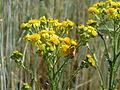 20150611Jacobaea vulgaris2.jpg