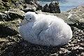 2016-02-25 152354 giant petrels chick IMG 5972.jpg