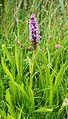 2016 0625 Wild orchid NL.jpg