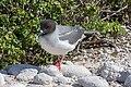 20180807-Swallow-tailed gull-3 at Genovesa (9495).jpg