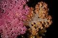 2018 fiji, 9 april, soft corals (40058275400).jpg