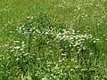 2019-06-21 (102) Leucanthemum vulgare (ox-eye daisy) and Urtica dioica (common nettle) at Bichlhäusl, Tiefgrabenrotte, Frankenfels, Austria.jpg
