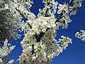 20190319 Prunus cerasifera 5.jpg