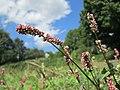 20190819Persicaria lapathifolia4.jpg
