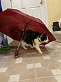 2020-04-23 18 57 29 A Calico cat investigating an umbrella in the Franklin Farm section of Oak Hill, Fairfax County, Virginia.jpg