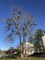 2020-11-16 13 19 17 A large Red Maple with multiple instances of Mistletoe along Elderberry Place in the Franklin Glen section of Chantilly, Fairfax County, Virginia.jpg
