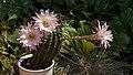 20200809 EchinopsisOxygona DSC03184-2 PtrQs.jpg