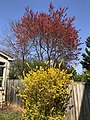 2021-04-04 15 14 25 A Red Maple covered in immature seeds and a forsythia blooming along Cobra Drive in the Chantilly Highlands section of Oak Hill, Fairfax County, Virginia.jpg