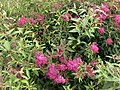 2021-06-03 09 30 12 Japanese spiraea blooming along Glen Taylor Lane in the Chantilly Highlands section of Oak Hill, Fairfax County, Virginia.jpg