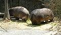 2Hippopotamus amphibius zoo.jpg