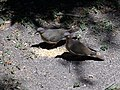 2 White-winged Doves Around Bird Seeds.jpg