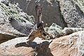2 of 2 Peregrine Falcon (Falco peregrinus) Morro Rock.jpg