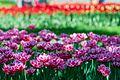 35-101-5005 Tulips Dendropark Kropyvnytsky DSC 4787.jpg
