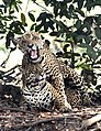 4318 Pantanal jaguar couple JF5.jpg