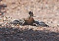 446 - GREATER ROADRUNNER (5-2-2015) 78 circulo montana, patagonia lake ranch estates, scc, az -02 (17427024806).jpg