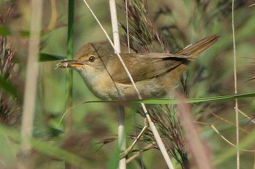 4566.reed warbler holding food