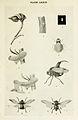 50-Indian-Insect-Life - Harold Maxwell-Lefroy - Machaerota-planitiae.jpg